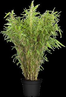 Photo du produit Bambou Moyen Fargesia