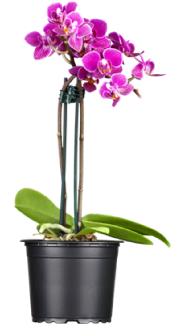 Photo du produit Orchidée Parfumée 2 tiges