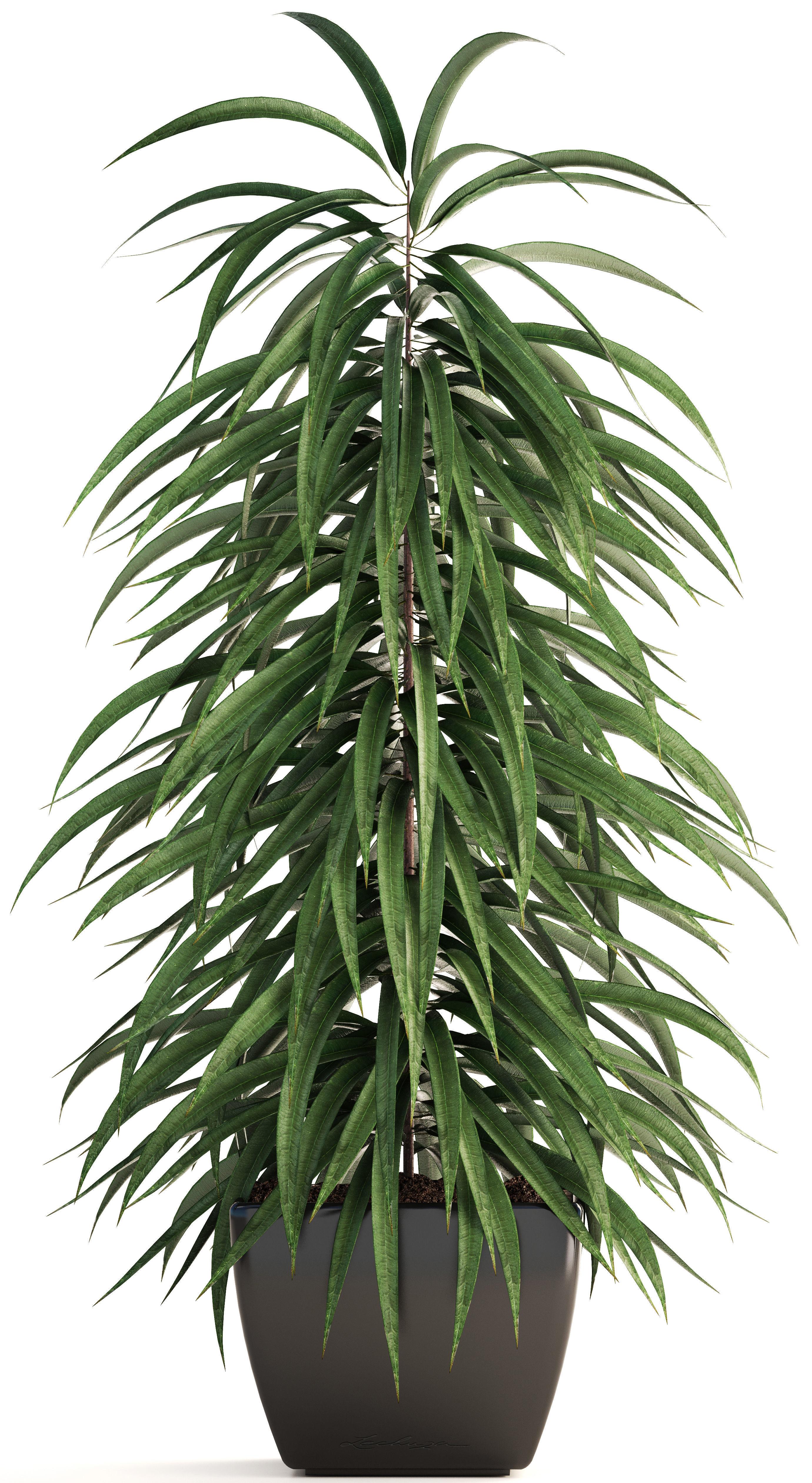 Photo du produit Ficus Alli