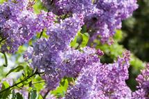 Photo du produit Syringa vulgaris